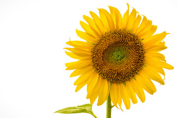 sunflower close up isolated on white background