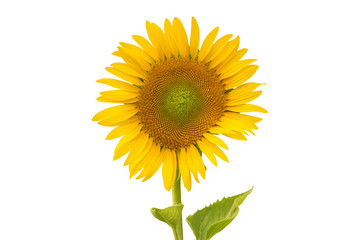 Sunflower isolated on white background (flower)