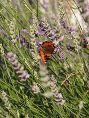 Kleiner Fuchs auf Lavendel (Aglais urticae)