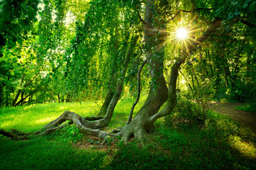 Sun Shining through Old Bizarre Hanging Beech Tree in Enchanted Abandoned Park