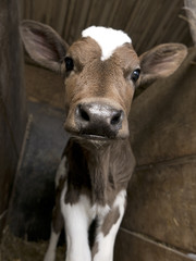 The cutest calf ever stands in a barn as it poses for the picture.