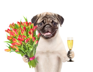 Happy puppy with a bouquet of tulips holding glass of champagne. isolated on white background