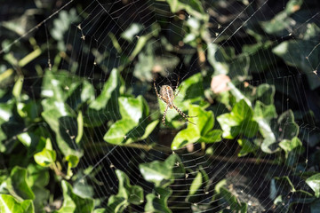 Orb weaver spider on a web catching flies