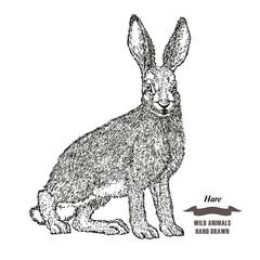 Forest animal hare or rabbit. Hand drawn black ink sketch on white background. Vector illustration engraving style.
