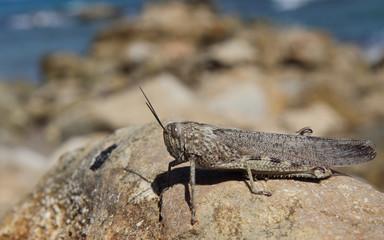 Grasshopper, Zakynthos, Greece