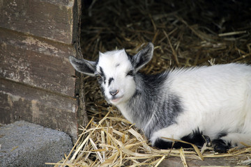 Goat sitting in a shelter