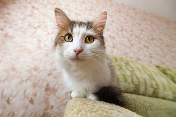 Домашняя пушистая кошка