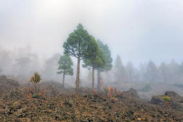 Trees in the Caldera de Taburiente, La Palma, Canary Island.