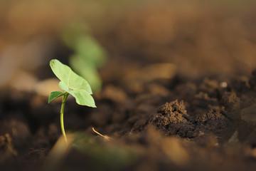 Small cotton plant, Born Concept