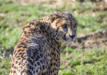 Cheetah or gepard (Acinonyx jubatus) on the field.