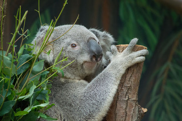 Close up of a koala bear