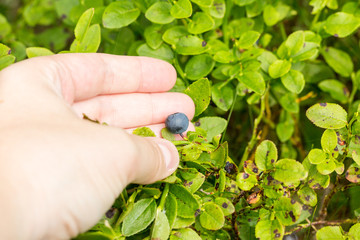 hand picking fruits from blueberry plant