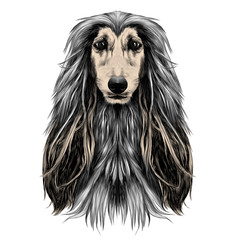 dog head full-face breed Afghan hound sketch vector graphics color picture
