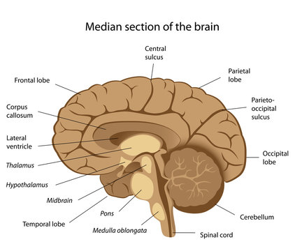Human brain anatomy, labeled.