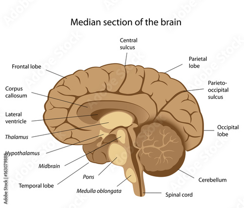 Human Brain Anatomy Labeled Stock Photo And Royalty Free Images