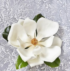 Magnolia southern white on the background