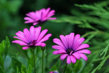 Three  Beautiful Purple Daisies.