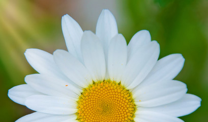 bright white Daisy, white petals and yellow middle,