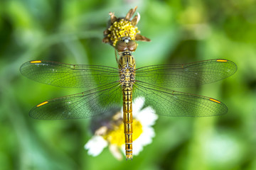 Dragonfly on grass flower. Top view.