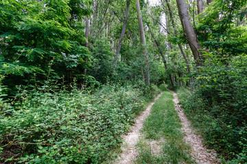 Camino y bosque de chopos.