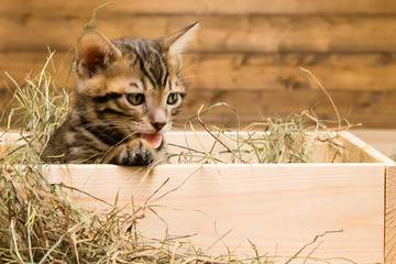 The striped kitten sits in a box of wood and looks at the hay