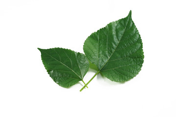 mulberry  green leaf isolated on white background