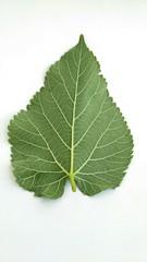 Mulberry green leaf