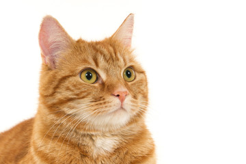 Portrait of an attentive ginger cat against a white background.