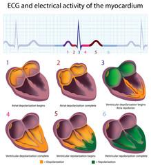 Cardiac cycle, ECG and electrical activities of the myocardium