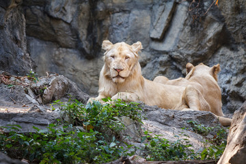 Female lion sitting on the rock with green leaf.