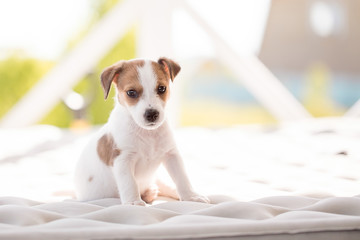 Puppy breed jack russell terrier.