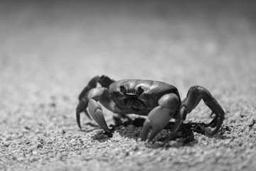 Land crab at night with light - black and white
