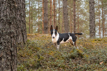 Mini bullterrier tricolor dog on the walk in the forest