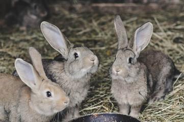 Obraz króliki na sianie - fototapety do salonu