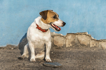 A small dog Jack Russell Terrier sitting next to a abandoned house. Blue ruined wall background