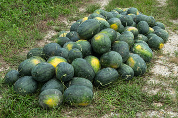 watermelons in farm waiting for sell.