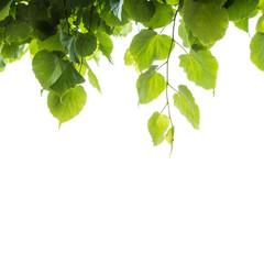 Wall Mural - Fresh green tree leaves over white background