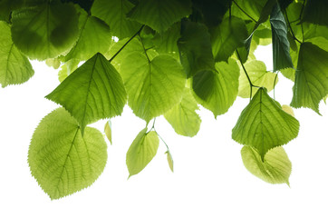 Wall Mural - Fresh green tree leaves on white background