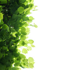 Fresh green tree leaves over white