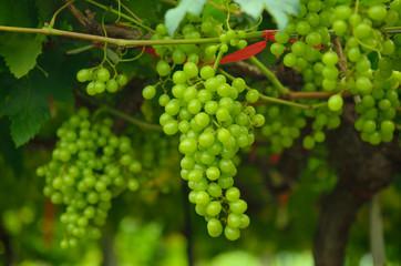 Fresh Green grapes on vine