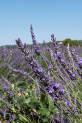 Close up of scented lavender flower on the French Provence near Valensole.