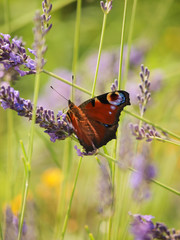 Tagpfauenauge (Aglais io) im Lavendelfeld