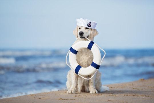 golden retriever dog with a life buoy on the beach