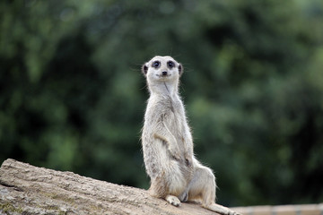 Meerkat sitting on a log