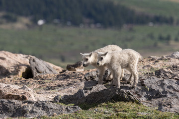 Pair of Cute Mountain Goat Kids