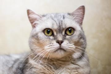 British cat grey