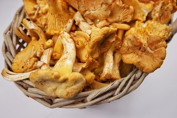 The first harvest of mushrooms in the Carpathians, chanterelles