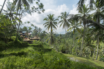 Bali Rice Fields Tegalalang Rice Terrace Asia