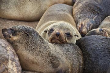 Cape Fur Seals, Cape Cross, Skeleton Coast, Namibia