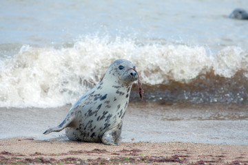 Animal camouflage. Grey seal hiding with seaweed on nose. Funny animal meme image.